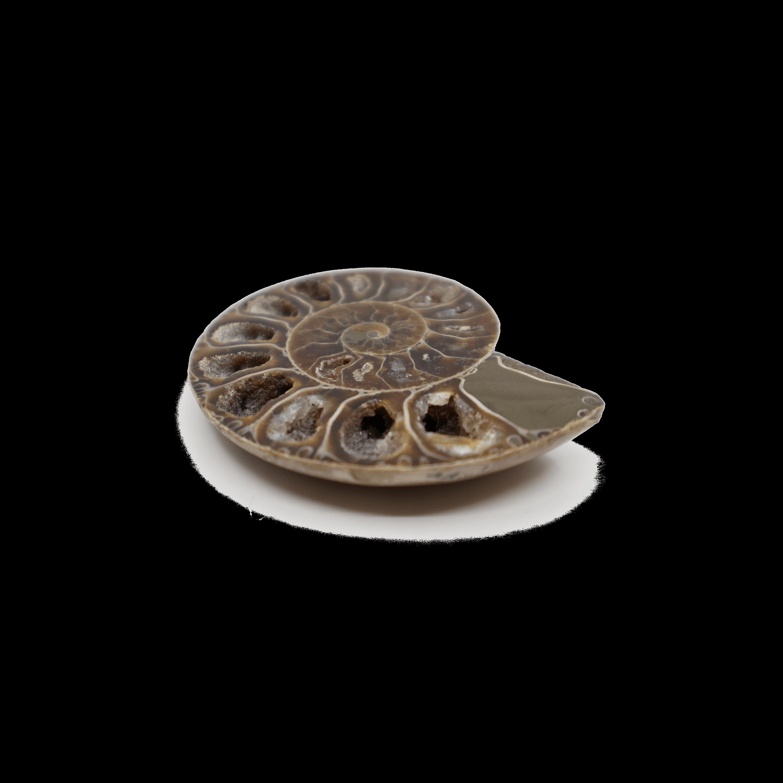 Ammonite Cleoniceras (Mesozoic)