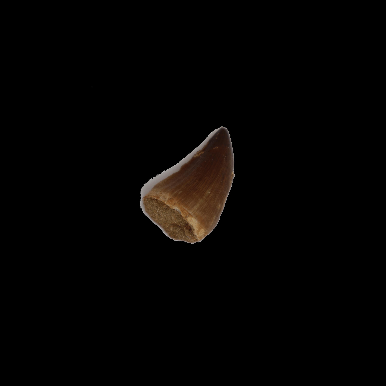Mosasaurus Tooth (Mesozoic)