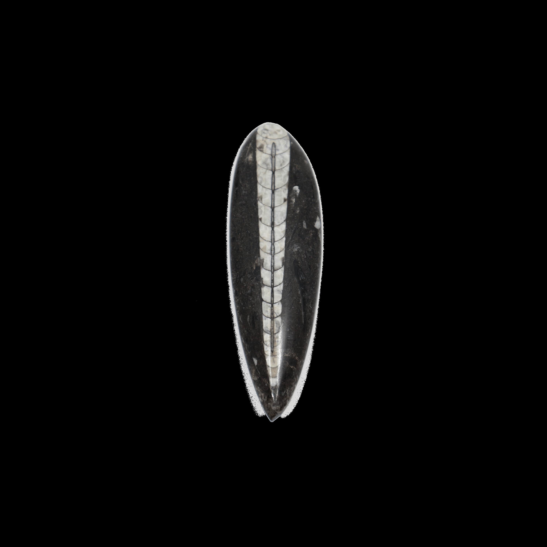 Orthoceras (Palaeozoic)
