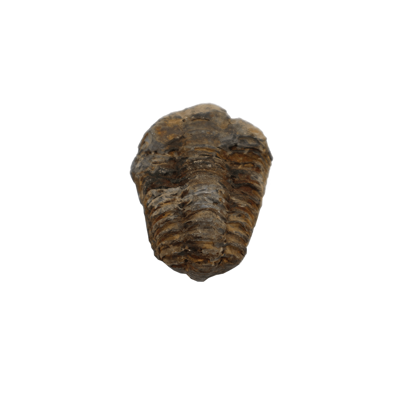 Trilobite Flexicalymene (Palaeozoic)